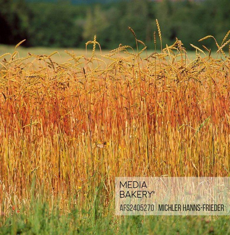 10029566, useful plants, grain, spelt, field, grain field, agriculture