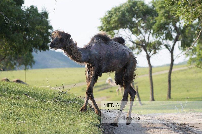 China, Inner Mongolia, Hebei Province, Zhangjiakou, Bashang Grassland, Bactrian camel (Camelus bactrianus), walking