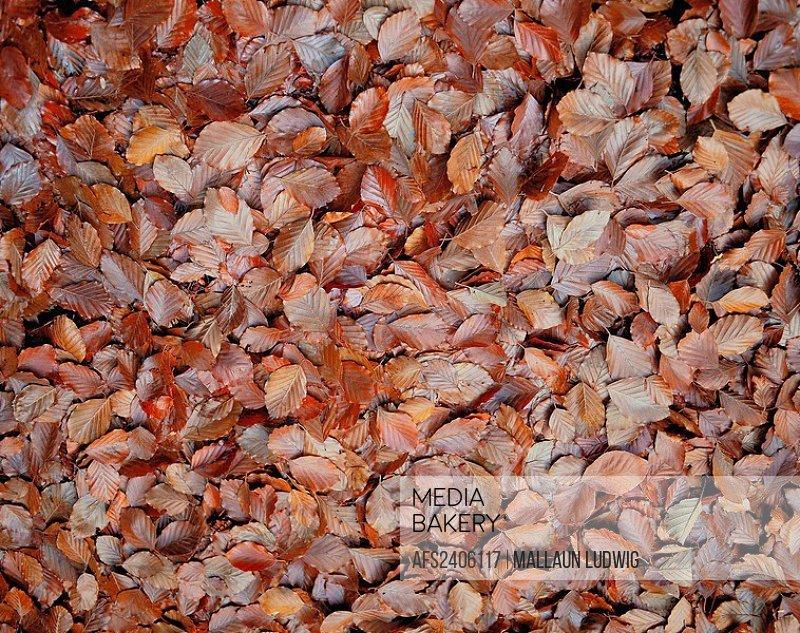 10176645, autumn, leaves, foliage ground, brown, foliage