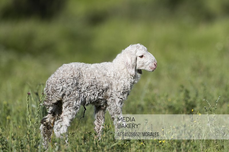 China, Inner Mongolia, Hebei Province, Zhangjiakou, Bashang Grassland, Sheep just born.