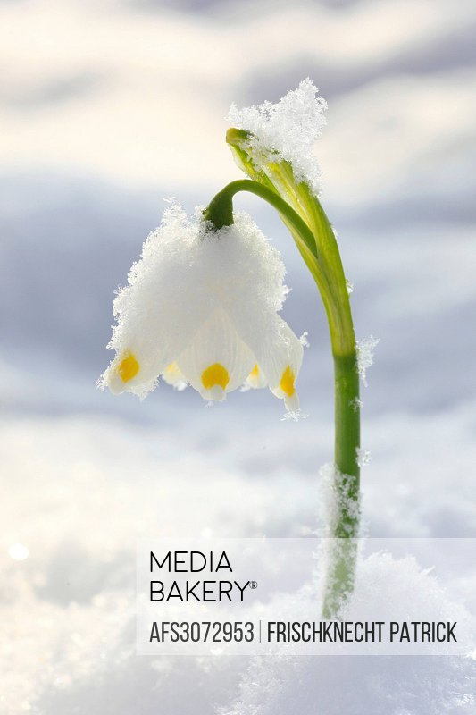 Flower, flowers, blossom, flourish, detail, flora, spring, spring flower, big, snowflake, Leucojum vernum, cold, macro, close-up, plant, snow, snowdro...