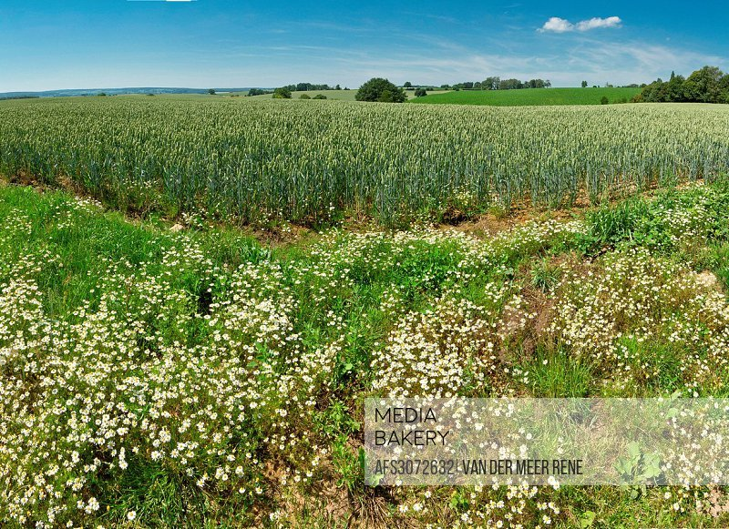 Netherlands, Holland, Europe, Trintelen, Simpelveld, Rolling hills, landscape, field, meadow, flowers, summer, hills, wheat field,