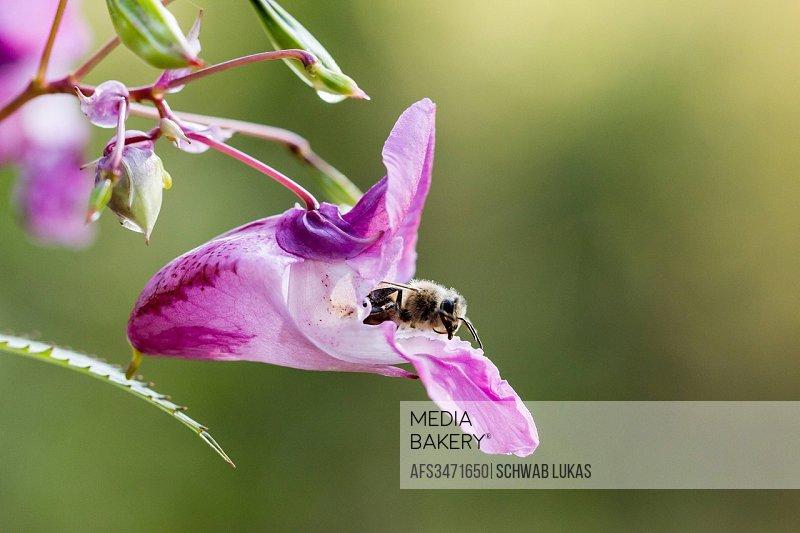 Bee, Flower, Honey, Impatiens glandulifera, Plant, Policeman's Helmet, Switzerland, Violet, Nature
