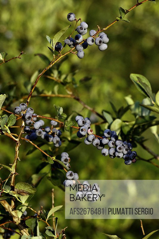 blueberries, bushes, fresh, health, healthy, natural, nutrition, perennial, picking, Texas, USA, Vaccinium