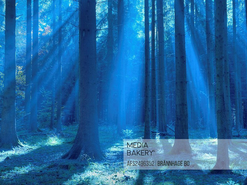 blue, autumn, sunrays, fir wood, Kusnacht, wood, forest, Switzerland, trunks, tribes, rays, beams,