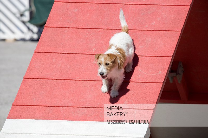 Jack Russell dog at agility competition