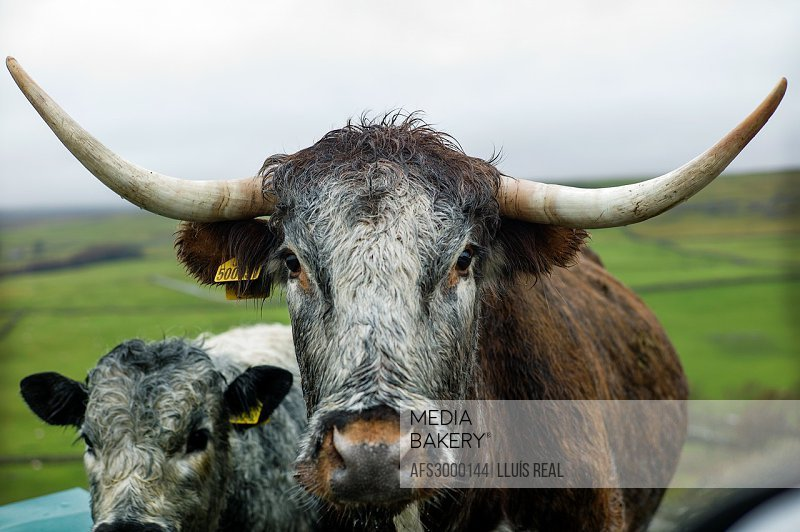 scottish cow foreground