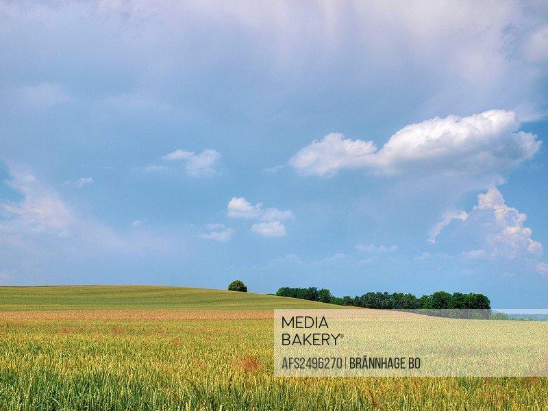 Gently, Oberglatt, wheat field, clouds, canton Zurich, field, grain, agriculture,