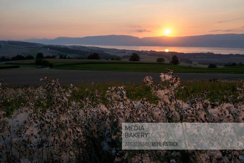 Flowers, Les Rites, Neuenburgersee, Romandie, Switzerland, Europe, sundown, Vully, lake,