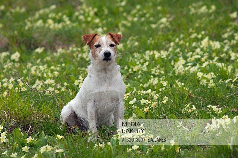 Jack Russell Terrier on garden seat