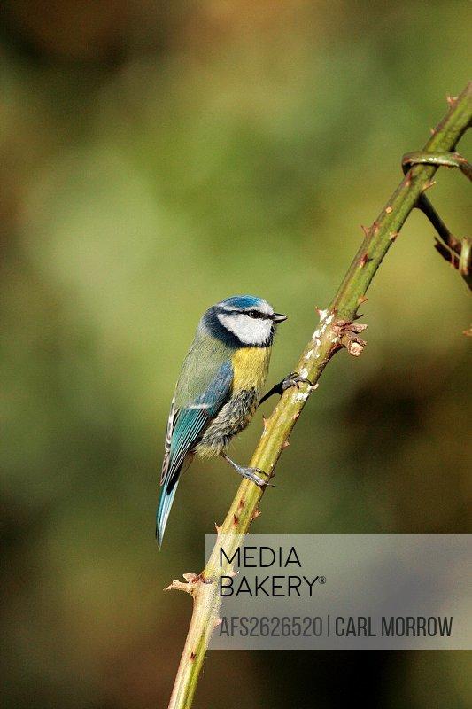 Blue Tit Parus caeruleus