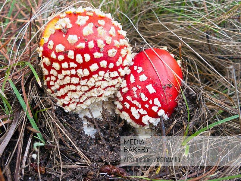 Mushrooms Amanita muscaria in Cadalso de los Vidrios  Madrid  Spain