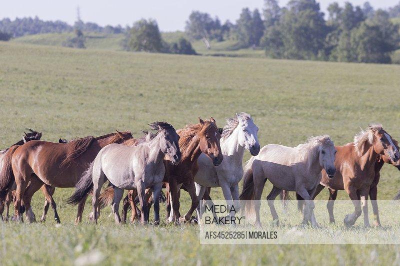 China, Inner Mongolia, Hebei Province, Zhangjiakou, Bashang Grassland, horses in a group in the meadow.