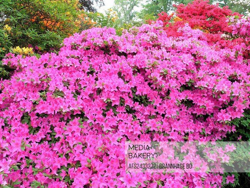 Azalea, shrub, detail, flowers, purple, pink