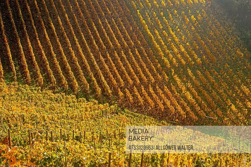 Ahrtal, cultivation, outhouse, cultivation, mountain slope, leaves, Germany, Eifel, Europe, autumn, autumn colors, autumnal, scenery, agriculture, nat...