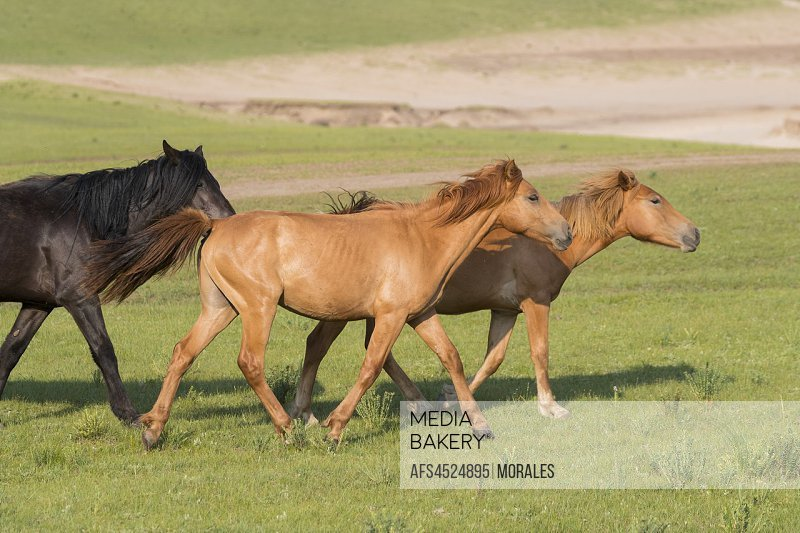 China, Inner Mongolia, Hebei Province, Zhangjiakou, Bashang Grassland, horses in a group in the meadow.