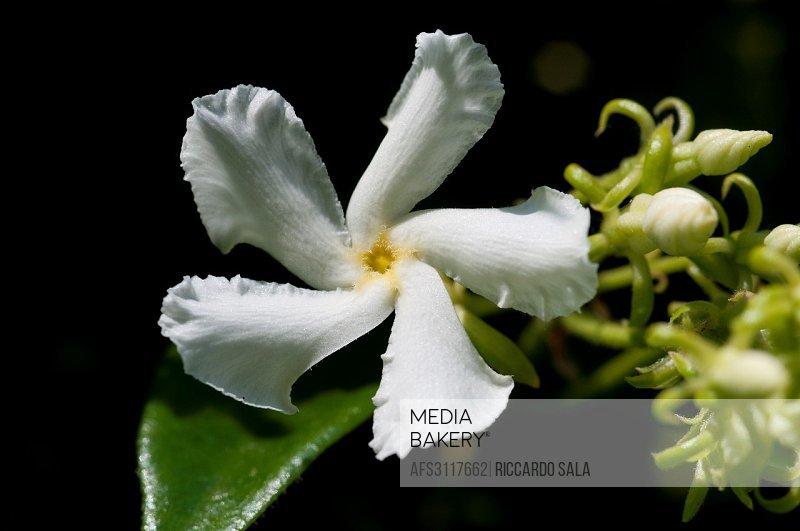 Star Jasmine, Trachelospermum Jasminoides.