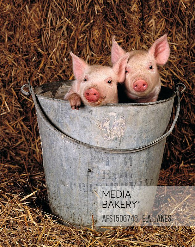 Mediabakery - Photo by Age Fotostock - Piglet in feed bucket