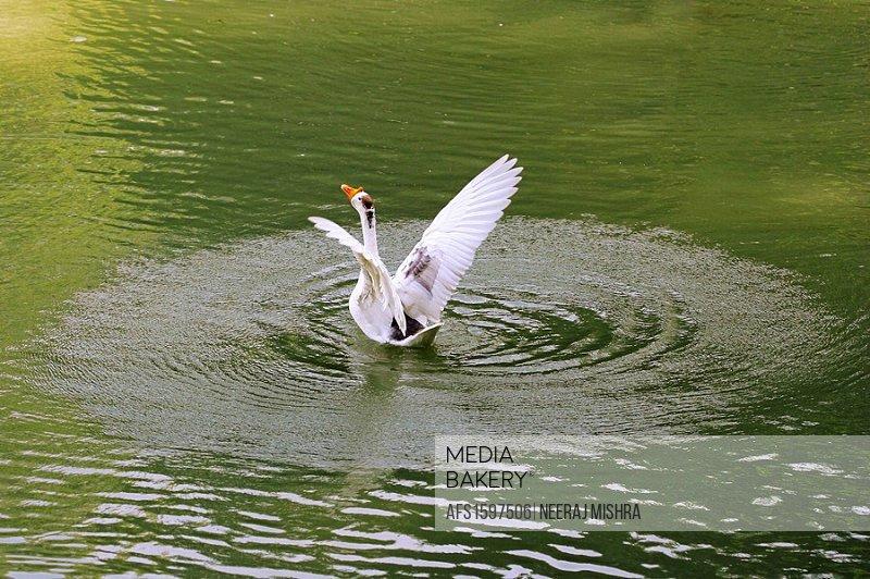 Goose, Bird, White, Water, Water Bird, India