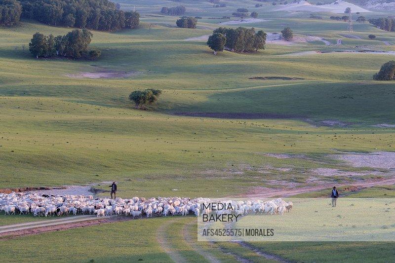 China, Inner Mongolia, Hebei Province, Zhangjiakou, Bashang Grassland, Shepherd keeping his sheep with his dogs.
