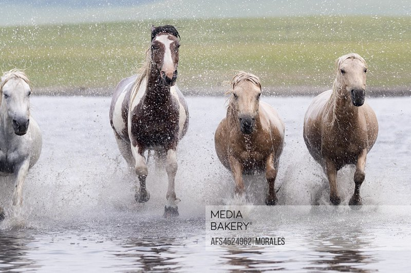 China, Inner Mongolia, Hebei Province, Zhangjiakou, Bashang Grassland, horses running in a group in the water.