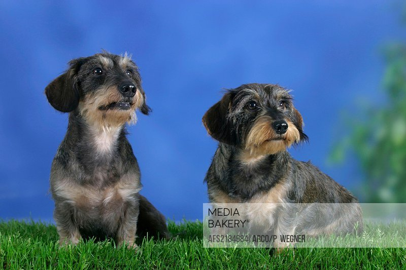 Wirehaired, Dachshunds, pair