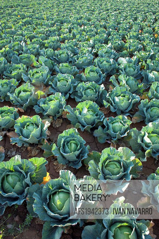 Cabbages field