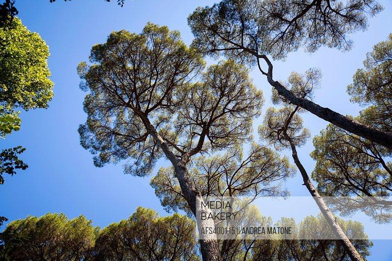 Mediterranean pine trees.