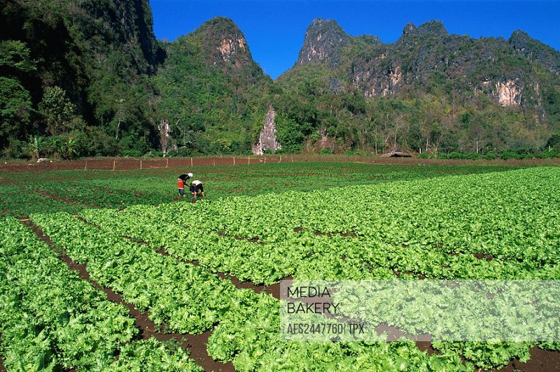 Asia, Thailand, Northern Thailand, Asia, Golden Triangle, Chiang Mai, Chiang Rai, Farming, Lettuce, Lettuces, Lettuce