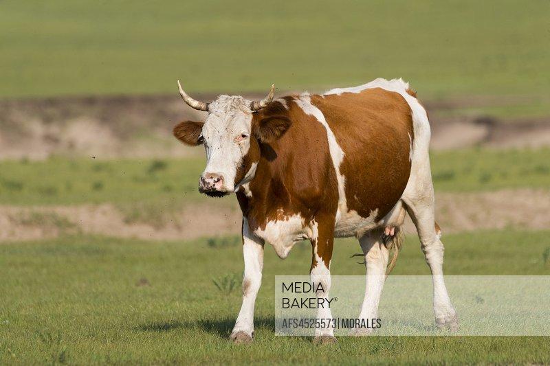China, Inner Mongolia, Hebei Province, Zhangjiakou, Bashang Grassland, cow in the prairie.