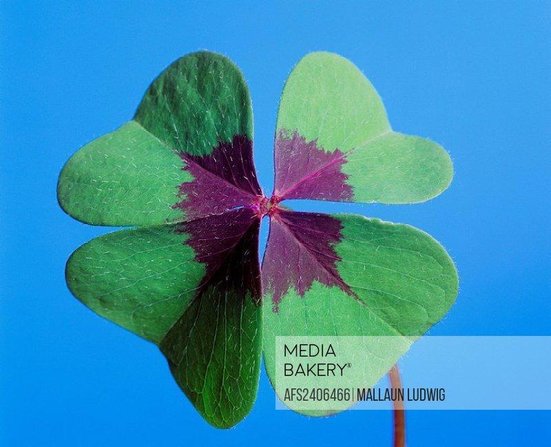 10225850, 4_leaved, cloverleaf, shamrock, luck bringer, luck, happiness, symbol, concept,