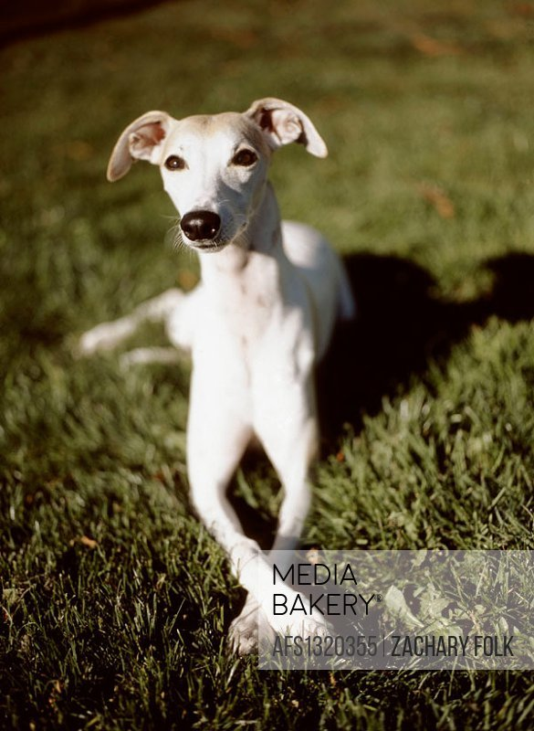 Whippet on grass with front paws crossed