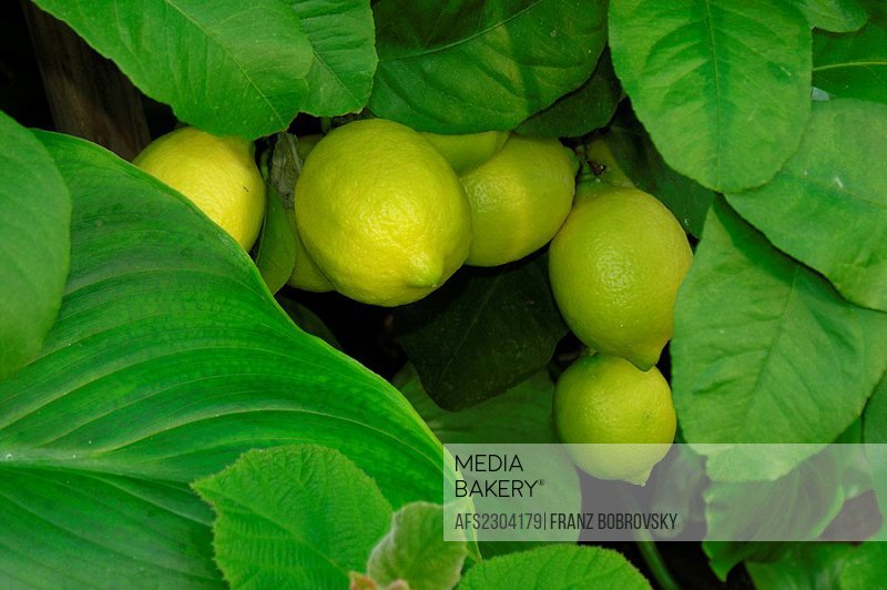citrus fruits on tree