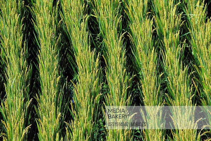 Rice field, Chengde. Hebei, China