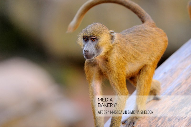 Close-up of a Guinea baboon (Papio papio) youngster