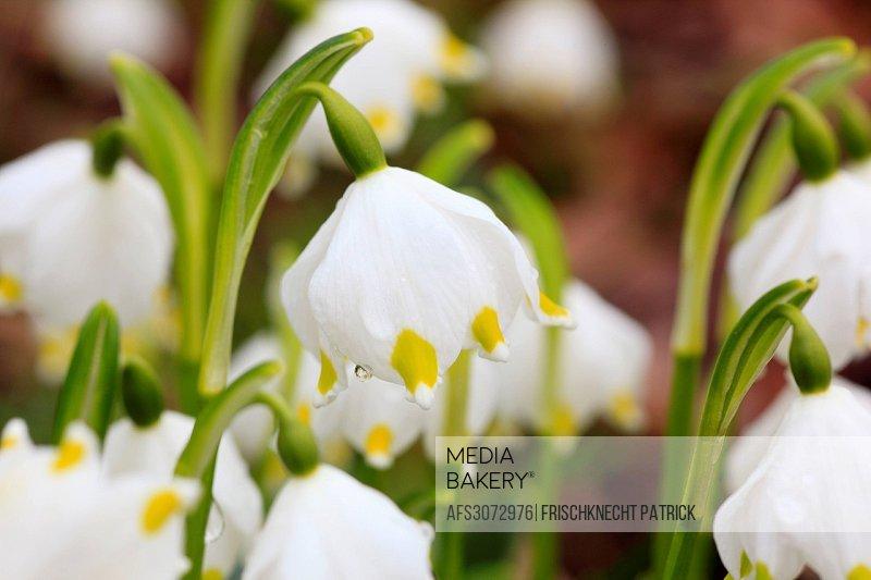 Flower, flowers, blossom, flourish, detail, flora, spring, spring flower, big, snowflake, Leucojum vernum, macro, close-up, plant, snowdrops, one, gre...