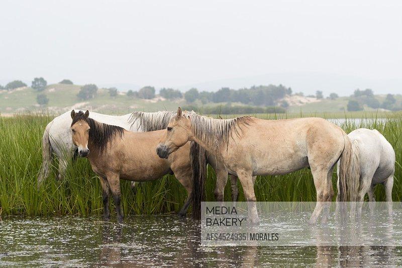 China, Inner Mongolia, Hebei Province, Zhangjiakou, Bashang Grassland, horses in a group in the water.