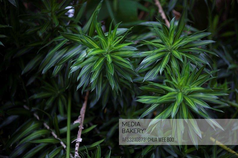 Green leaves. Image taken at MBKS Botanical Garden, Kuching, Sarawak, Malaysia.
