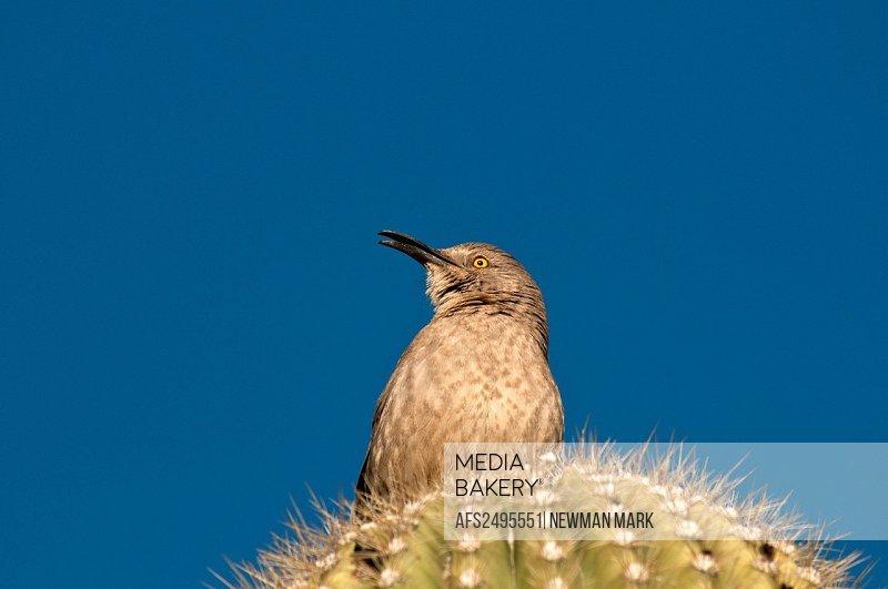 cactus wren, bird, animal, portrait, saguaro cactus, Organ pipe Cactus National Monument, Arizona, March, USA, North America, Am