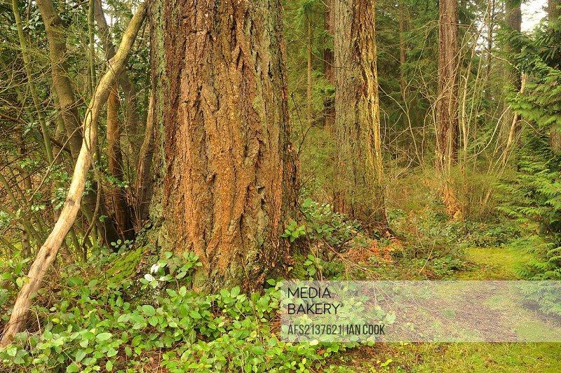 Douglas fir Pseudotsuga menziesii trunks, Central Park, Burnaby, British Columbia, Canada