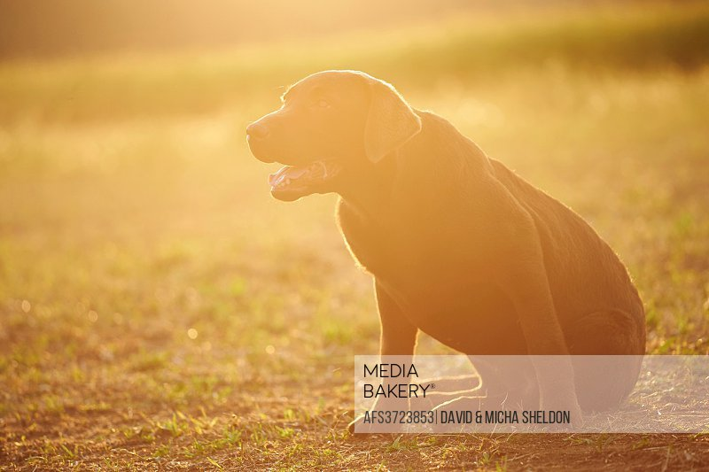 Close-up of a Labrador Retriever youngster on a meadow in late summer.