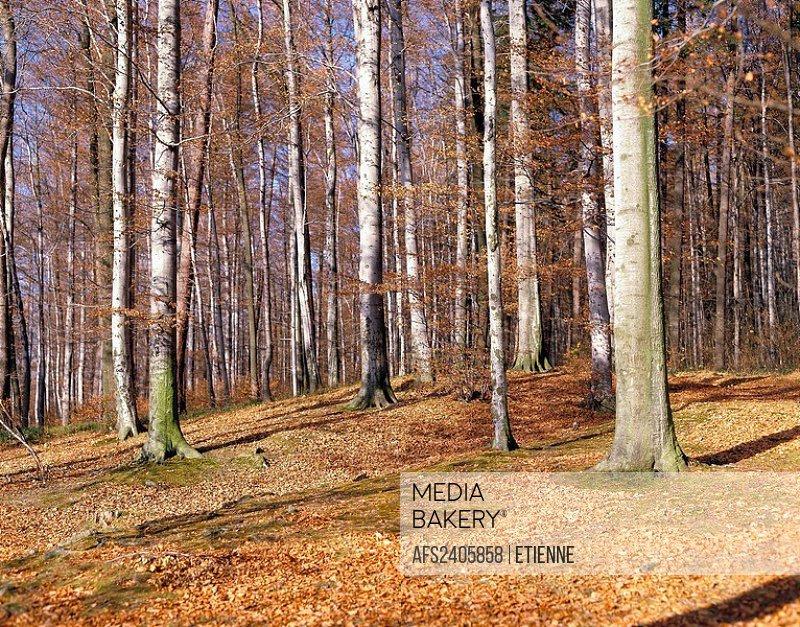 10114252, autumn, wood, forest, foliage ground, foliage, trees, nature