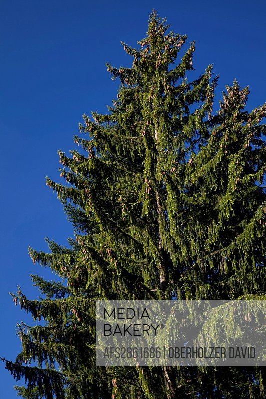 Fir, Norway spruce, wood, forest, height, growing, tree, trees,