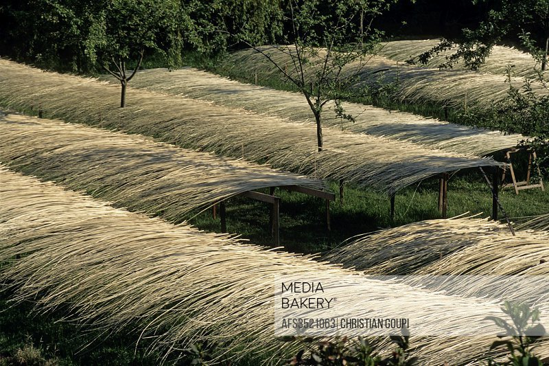 debarked and set to dry willow, Villaines-les-Rochers, Indre-et-Loire department, Centre region, France, Europe.