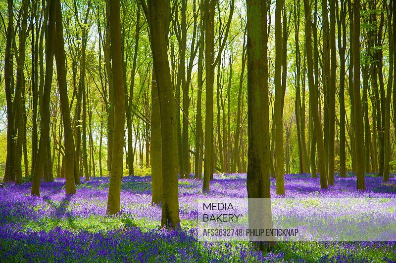 Woodland Sceane in sprigtime with carpet of Bluebells.