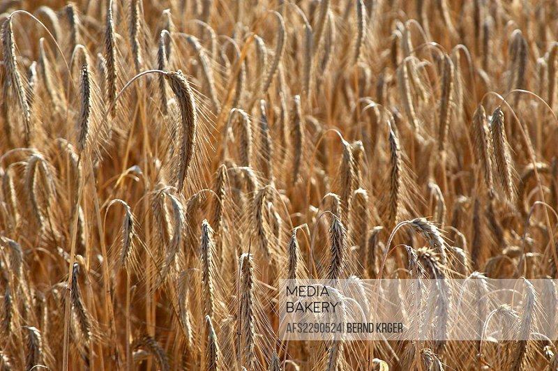 corn,grain