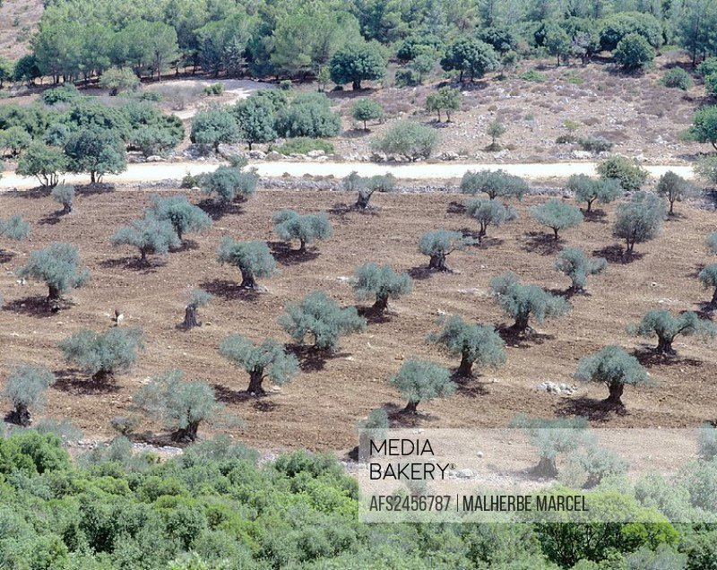 10856419, Israel, Galilee, olive trees, Mount Tabo
