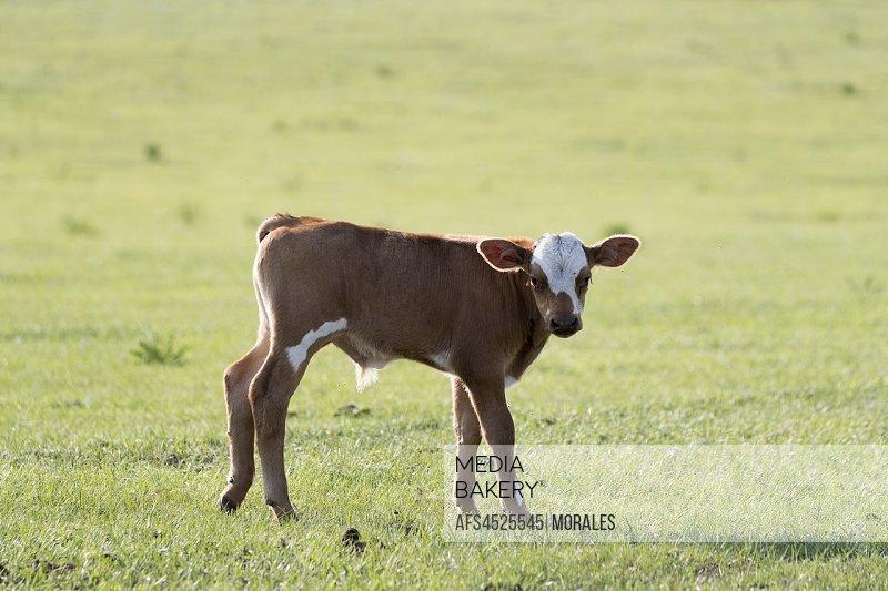 China, Inner Mongolia, Hebei Province, Zhangjiakou, Bashang Grassland, veal in the prairie.