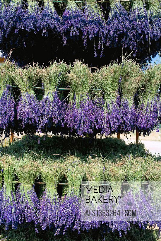 Drying lavender bunches. Provence. France.