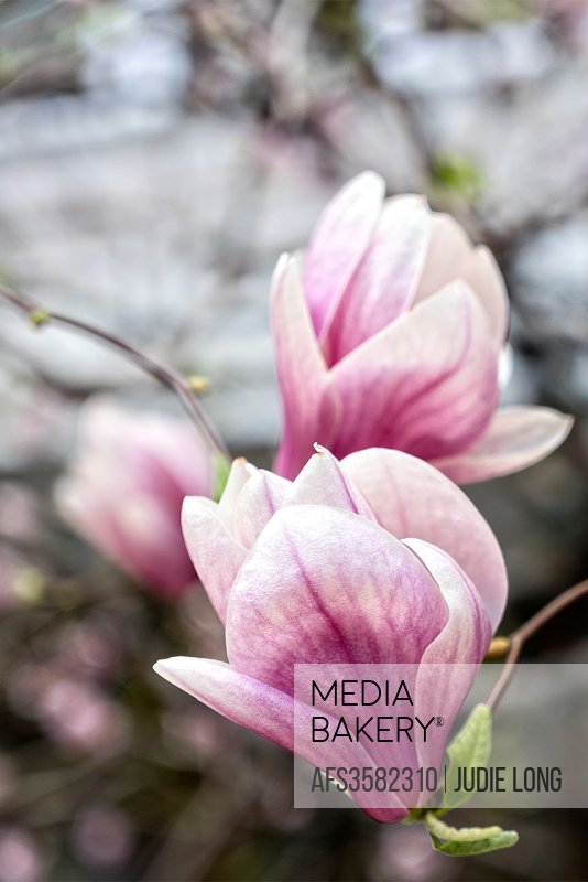 Mediabakery Photo By Age Fotostock Spring Magnolia Tree Blossoms